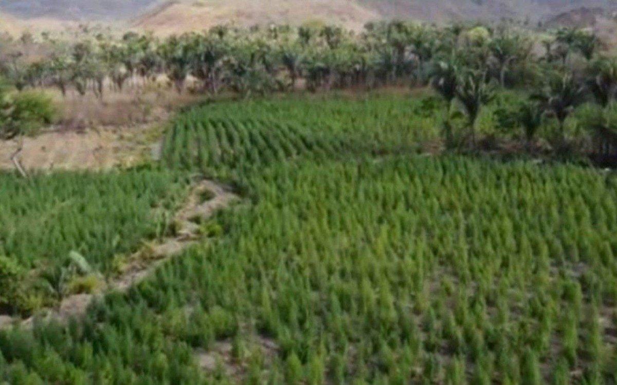 'Floresta' de maconha no interior do Maranhão