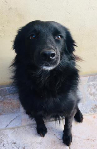 cão preto sentado