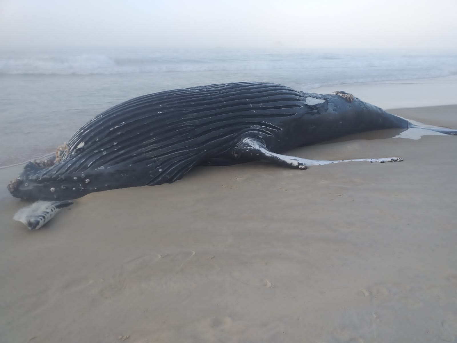 Baleia encontrada morta