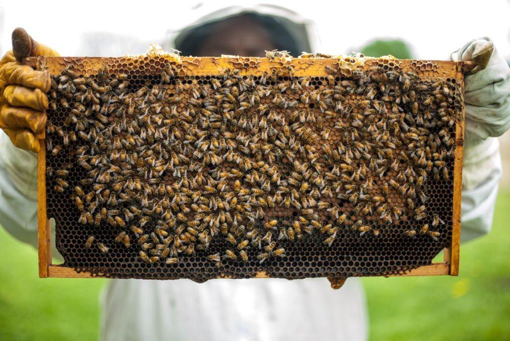 Imagem de um apicultor com abelhas