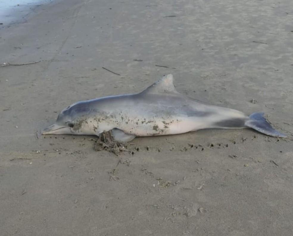 Boto foi encontrado morto com uma calcinha presa às nadadeiras em praia
