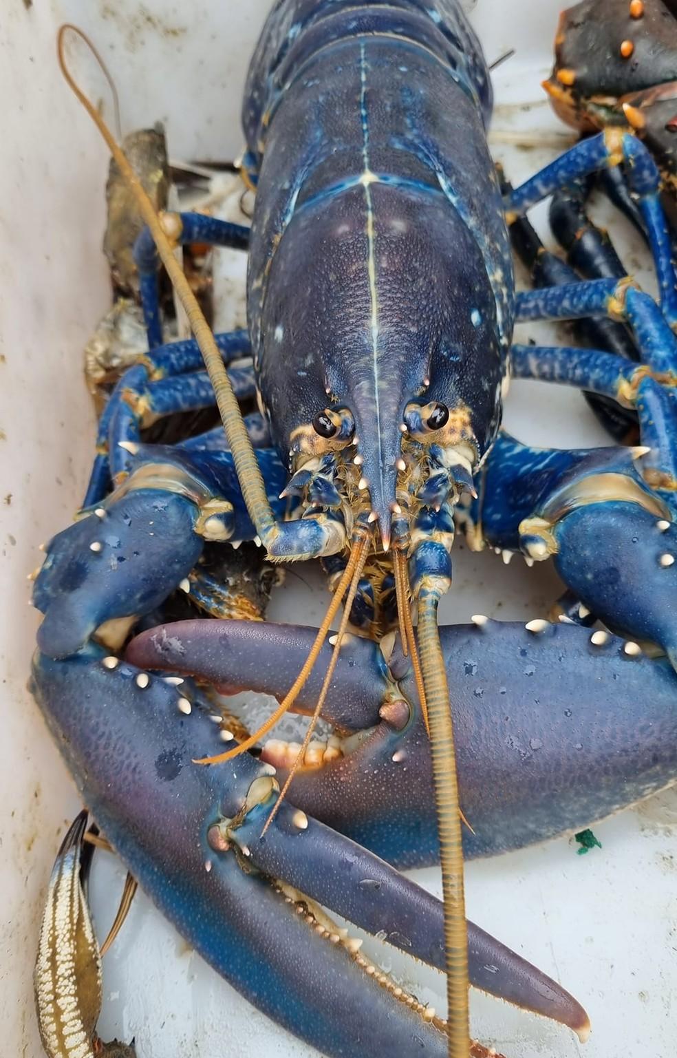 Lagosta azul rara pescada na Escócia se destaca das demais por causa da cor