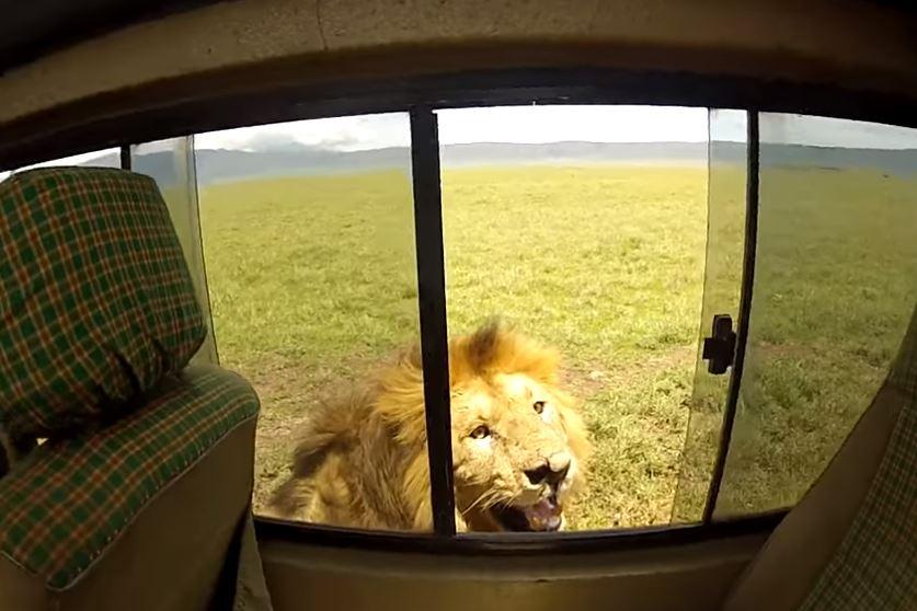 Leão quase ataca turista em safári na África