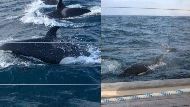 orcas cercam iate na Inglaterra