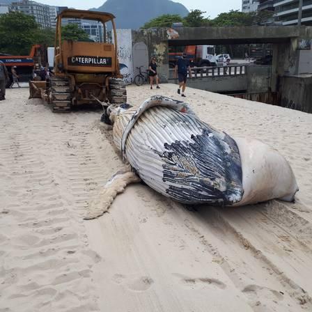 Baleia jubarte morta na praia do Leblon