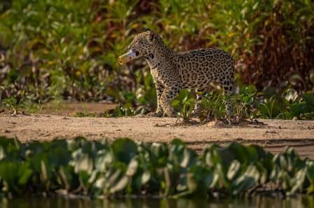 Filhote de onça-pintada brinca com lata de cerveja vazia no Pantanal